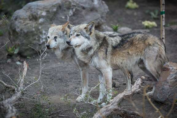 Two of the three Mexican gray wolf brothers in the new exhibit Wolf Canyon at the San Francisco Zoo on Sunday June 12, 2016.