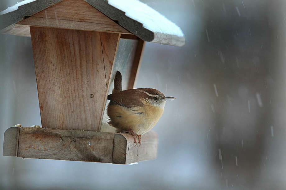 Photo by Chris BosakA Carolina Wren visits a feeder during a snow storm in New England, winter 2013-14.