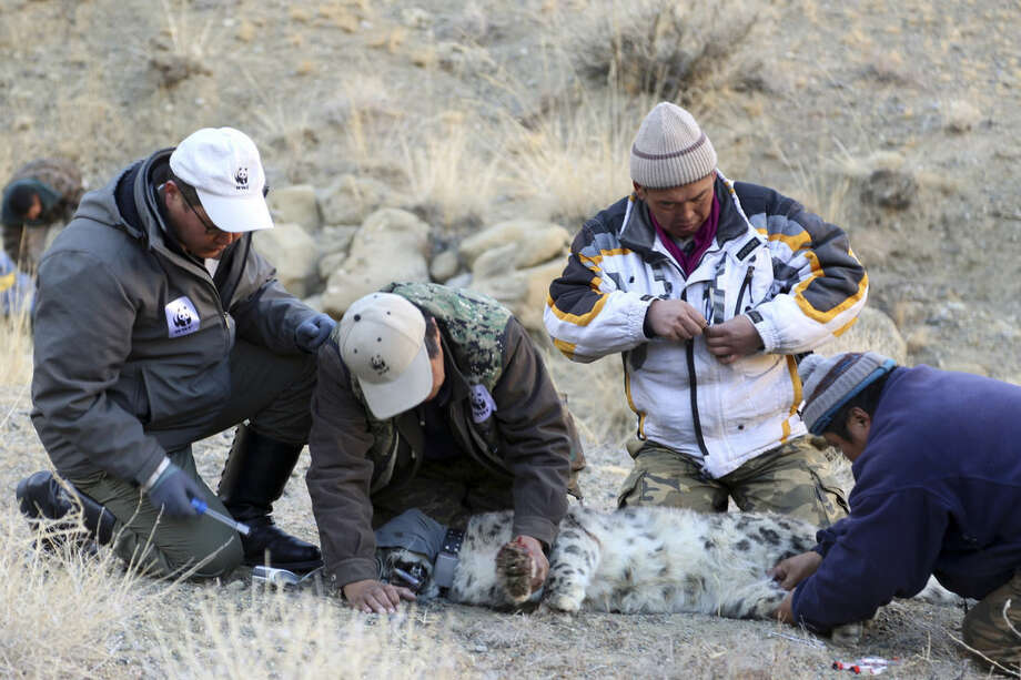 In this photo taken Nov. 9, 2015 and released by WWF Mongolia, WWF Mongolia scientists take DNA samples from collared snow leopard in Khovd province, Mongolia. As years of overgrazing increasingly push Mongolian nomads into the territory of their oldest foes - snow leopards and wolves - a group of researchers and herders are trying to reinstate the bankhar, a close relative of the Tibetan mastiff, to its historic place beside their masters. The dog is native to Mongolia but nearly disappeared over the course of mass urbanization drives during the Soviet era. (WWF Mongolia via AP) MANDATORY CREDIT