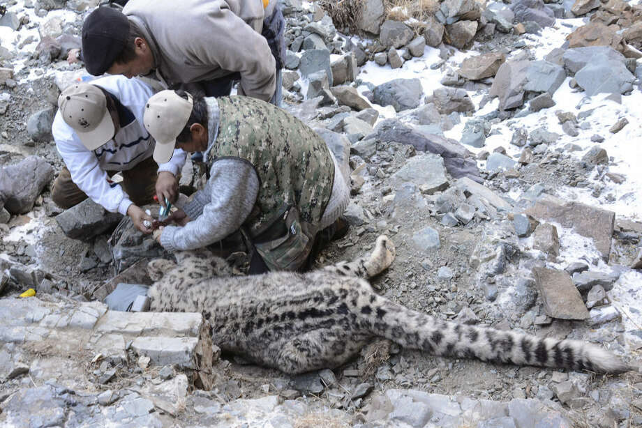 In this photo taken Nov. 9, 2015 and released by WWF Mongolia, WWF Mongolia scientists take DNA samples from a collared snow leopard in Khovd province, Mongolia. As years of overgrazing increasingly push Mongolian nomads into the territory of their oldest foes - snow leopards and wolves - a group of researchers and herders are trying to reinstate the bankhar, a close relative of the Tibetan mastiff, to its historic place beside their masters. The dog is native to Mongolia but nearly disappeared over the course of mass urbanization drives during the Soviet era. (WWF Mongolia via AP) MANDATORY CREDIT
