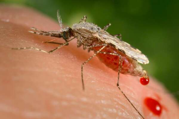 "In this photo provided by the Centers for Disease Control and Prevention (CDC ), a feeding female Anopheles stephensi mosquito crouching forward and downward on her forelegs on a human skin surface, in the process of obtaining its blood meal through its sharp, needle-like labrum, which it had inserted into its human host. A powerful new technology holds the promise of rapidly altering genes to make malaria-proof mosquitoes, eliminate their Zika-carrying cousins or wipe out an invasive species, but advisers to the government say these so-called ""gene drives"" aren't ready to let loose in the wild just yet.  (James Gathany/CDC via AP)"