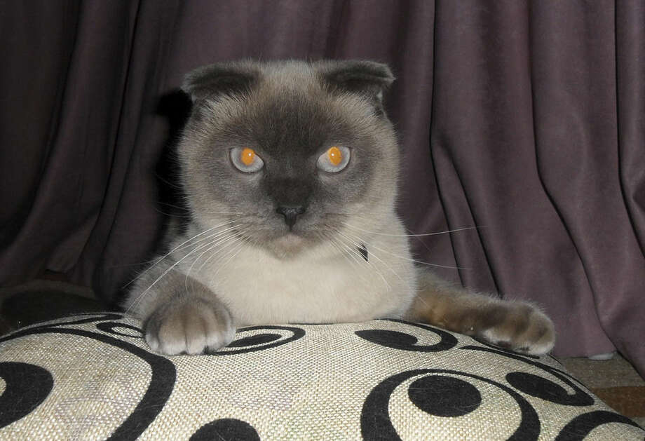 A Siamese cat named Barsik in Barnaul, The Siberian city of 650,000 people, which lies 2,900 kilometers (1,800 miles) east of Moscow, Russia, Saturday, Dec. 19, 2015, and it seems the residents of Barnaul want Barsik the cat to be their next mayor. An informal online poll asking the residents to express their preferences among the six official candidates and the Siamese cat named Barsik, showed the feline nabbing more than 90 percent of the vote. (AltaiOnline/Photo via AP)