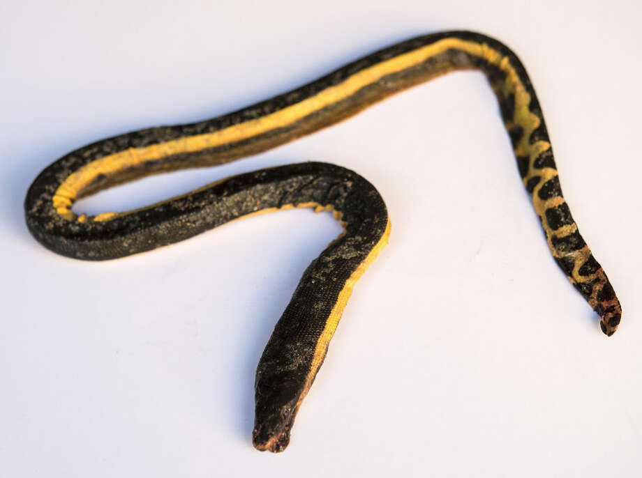 This Dec. 17, 2015 photo shows a dead venomous snake in Huntington Beach, Calif. A yellow-bellied sea snake from southern Mexico has been discovered on Bolsa Chica beach, only the third one ever reported in California. (Ed Crisostomo/The Orange County Register via AP) MAGS OUT; LOS ANGELES TIMES OUT; MANDATORY CREDIT