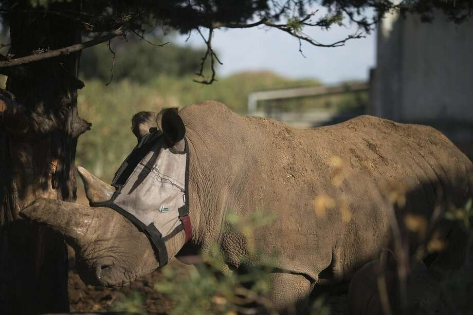 Tanda, 22, a two-ton rhinoceros wears a mask at the Zoological Center of Tel Aviv-Ramat Gan near Tel Aviv, Israel, Tuesday, Nov. 4, 2014. Israeli specialists are helping Tanda, who has a chronic eye infection, to fend off flies that are worsening its condition with a custom made mask. (AP Photo/Ariel Schalit)