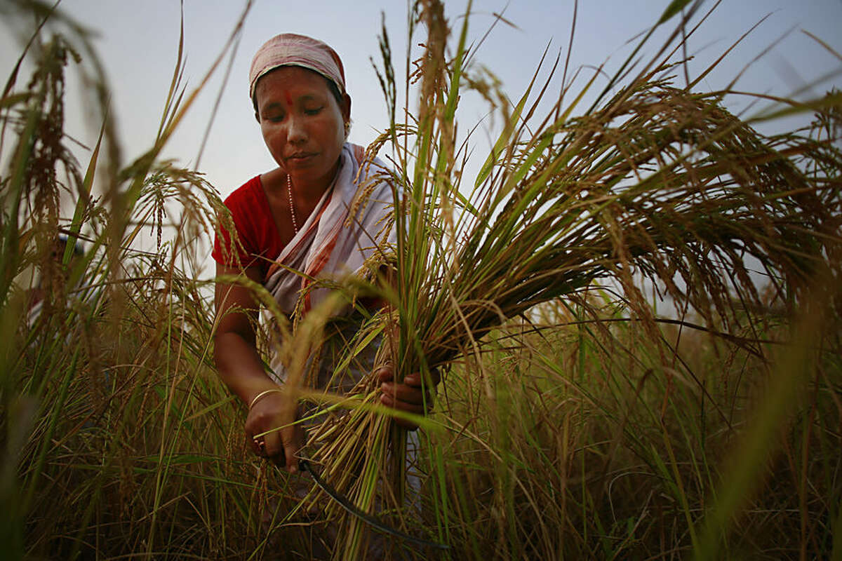 An Indian woman harvests paddy in a paddy field on the outskirts of Gauhati, India, one of the world's largest grain exporters, Thursday, Nov. 13 2014. The United States and India said Thursday they had resolved a dispute over stockpiling of food by governments, clearing a major stumbling block to a deal to boost world trade. India had insisted on its right to subsidize grains under a national policy to support hundreds of millions of impoverished farmers and provide food security amid high inflation. The U.S. and others in the World Trade Organization, meanwhile, were more focused on ensuring their food exporters weren't disadvantaged by the possibility of surplus Indian grain flooding the world market. (AP Photo/Anupam Nath)