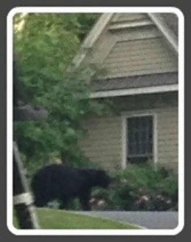 Black bear spotted in Westport in the summer of 2013.
