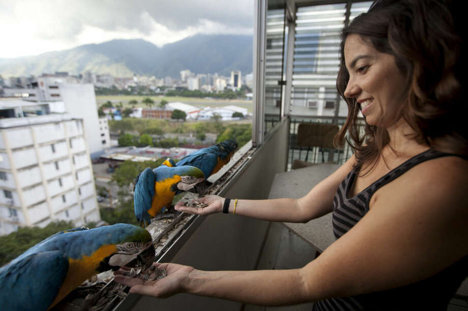 """In this November 14, 2014 photo, Vanessa Silva, 38, feeds macaws that fly to her apartment window every day looking for food, in Caracas, Venezuela. A group of gold-and-royal blue birds poked their heads through Silva's window, as if saying """"I'm here, is anyone home?"""" """"I'd seen them flying when I was down on the street, and I thought 'Oh how pretty,'"""" the 38-year-old said, a macaw eating out of her hand. (AP Photo/Ariana Cubillos)"""