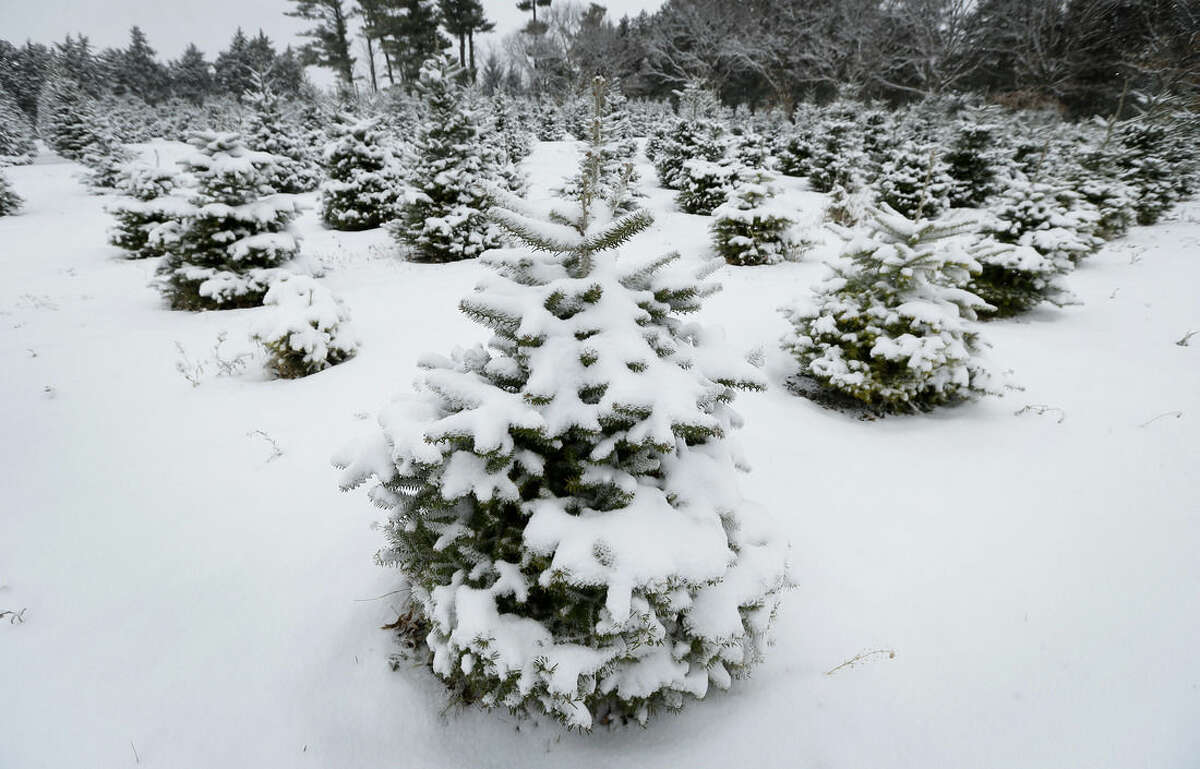 Christmas trees sit covered in snow on the family-run Howell Tree Farm, Wednesday, Nov. 26, 2014, in Cumming, Iowa. After several tough years, the nation's Christmas-tree growers are happy to see higher prices, but customers shouldn't worry too much. (AP Photo/Charlie Neibergall)