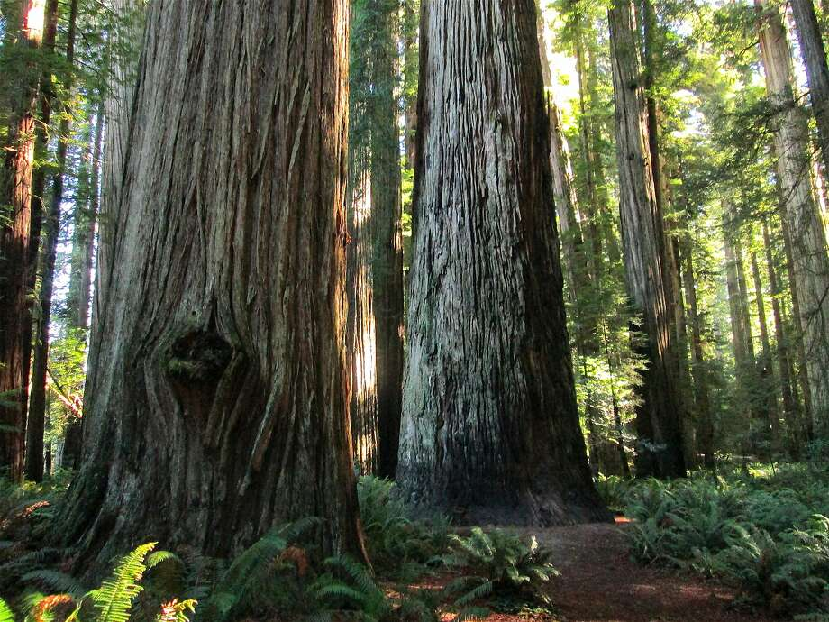 At Jedediah Smith Redwoods State Park, a trail is routed past the Stout Tree along the Smith River in the Redwood Empire of Northern California. Photo: Tom Stienstra, Tom Stienstra / The Chronicle
