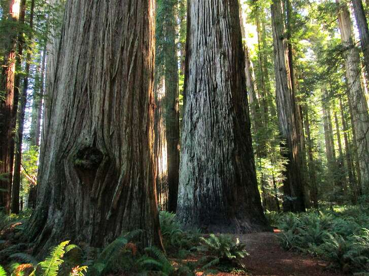 At Jedediah Smith Redwoods State Park, a trail is routed past the Stout Tree along the Smith River in the Redwood Empire of Northern California