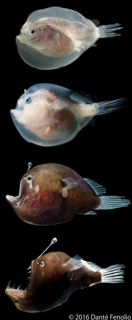 """TheMurray's Abyssal Seadevil, a species of deep sea Anglerfish,is one of the creaturesincluded in the book, """"Life in the Dark,"""" written by Dante Fenolio, vice president of conservation research at the San Antonio Zoo Photo: Courtesy Of Dante Fenolio."""