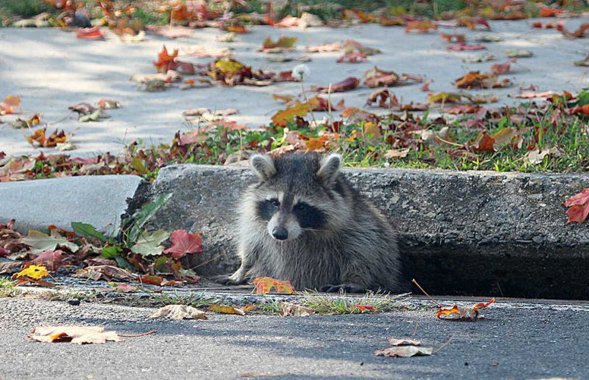 Photo by Chris Bosak A raccoon struggles to get out of a storm drain near Veterans Park in Norwalk on Friday.