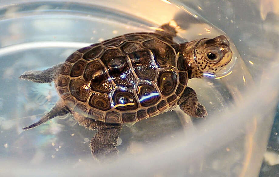 Hour photo / Erik Trautmann Soundwaters Coastal Educational Center received 22 Diamond Back Terrapin Turtles Wednesday that were seized by custom officials in Alaska as the turtles were headed for China.