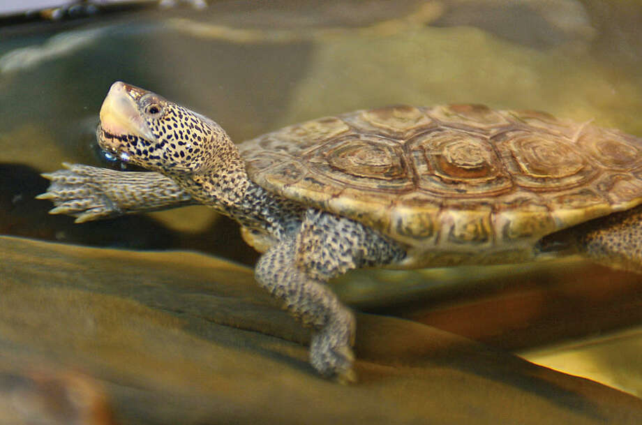 Hour photo / Erik Trautmann An adult Terrapin turtle at the Soundwaters Coastal Educational Center in Stamford. The Center received 22 Diamond Back Terrapin Turtles Wednesday that were seized by custom officials in Alaska as the turtles were headed for China.