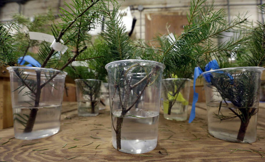 In this photo taken Tuesday, Dec. 23, 2014, cuttings from Douglas fir trees are suspended in water at a Washington State University research facility in Puyallup, Wash. Consumers consistently cite messiness as one of the most common reasons they don't have a real tree, says the National Christmas Tree Association. (AP Photo/Elaine Thompson)