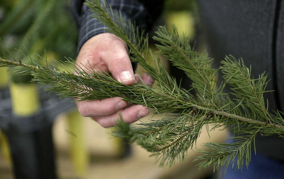 In this photo taken Tuesday, Dec. 23, 2014, Gary Chastagner, a Washington State University plant pathology professor, displays a cutting from a Douglas fir tree that's shedding needles at a school research facility in Puyallup, Wash. Consumers consistently cite messiness as one of the most common reasons they don't have a real tree, says the National Christmas Tree Association. (AP Photo/Elaine Thompson)