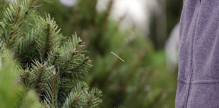 In this photo taken Tuesday, Dec. 23, 2014, a needle pops off a Douglas fir tree after a researcher brushed past it in a temperature and humidity-controlled room at a Washington State University research facility in Puyallup, Wash. Consumers consistently cite messiness as one of the most common reasons they don't have a real tree, says the National Christmas Tree Association. (AP Photo/Elaine Thompson)