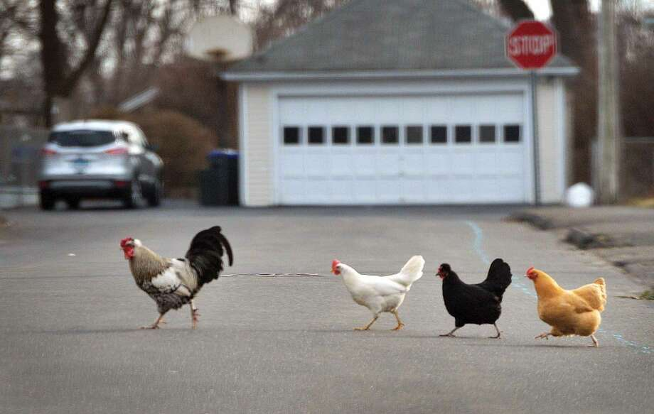 Hour Photo/Alex von Kleydorff Domesticated chickens head to their own backyard as they cross the road single file in East Norwalk on Monday