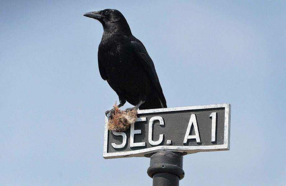 Hour Photo/Alex von Kleydorff A crow rests on a section sign A1, with a catch in his talons at St. Johns Cemetery in Norwalk