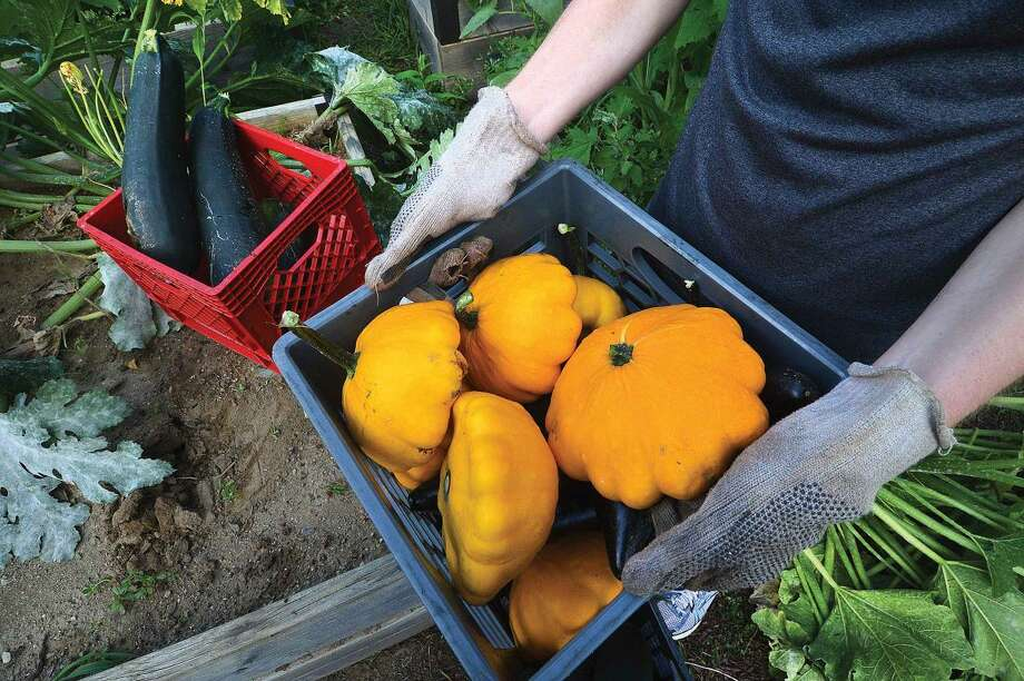 Hour Photo/Alex von Kleydorff Cooper Pellaton and Grace Nickel fill milk crates with Butternut Squash, red leaf lettuce , Asian Eggplant and Zuchini from the Neighborhood Garden at Trackside, they will donate the harvest to the Food Bank