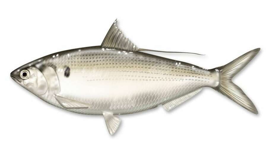 Connecticut Shad