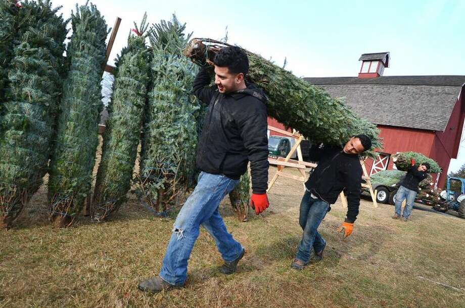 Hector Platero and Elvis J. Zavala with Tall Trees Landscaping carry a Fraser Fir tree to the stand with others as trees arrive from North Carolina and Nova Scotia for the Friends of Ambler Farm Annual Holiday Greens sale.
