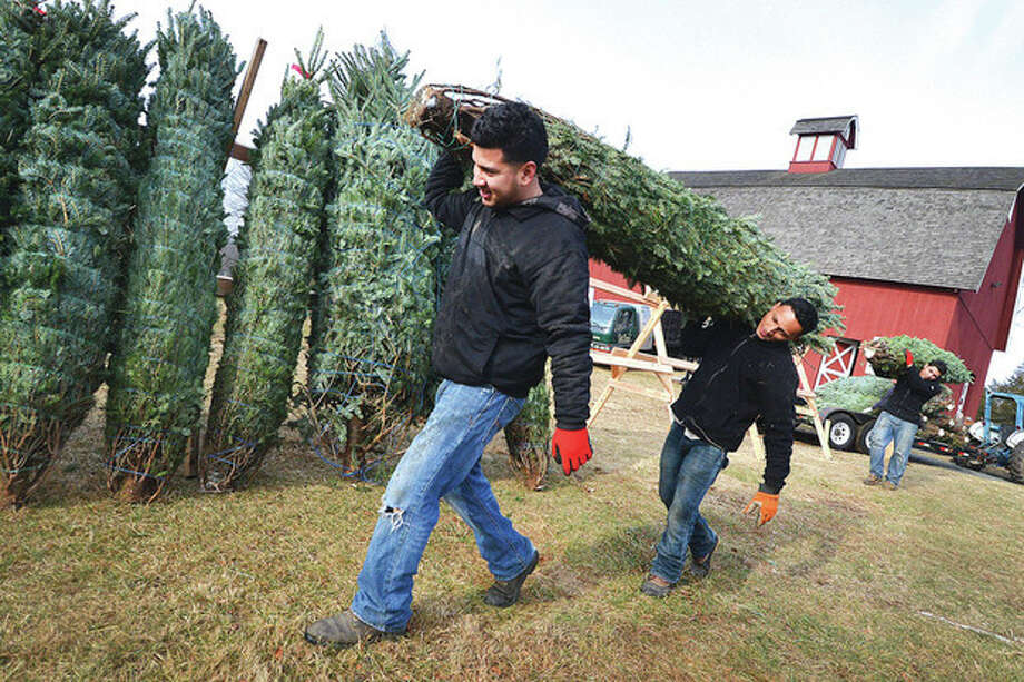 Hector Platero and Elvis J. Zavala with Tall Trees Landscaping carry a Fraser Fir tree to the stand as trees arrive from North Carolina and Nova Scotia for the Friends of Ambler Farm Annual Holiday Greens Sale.