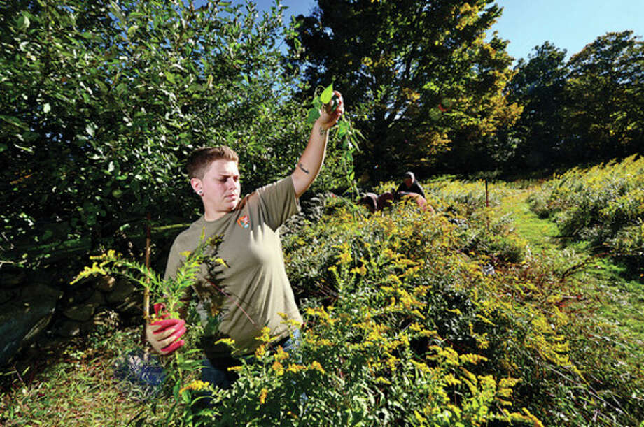 Hour photo / Erik Trautmann Approximately 20 volunteers including Lauren Miller assist Weir Farm staff in removing invasive plants around the farm as part of the 20th annual National Public Lands Day. The day is the nation's largest, single-day volunteer cleanup of public lands. / (C)2013, The Hour Newspapers, all rights reserved