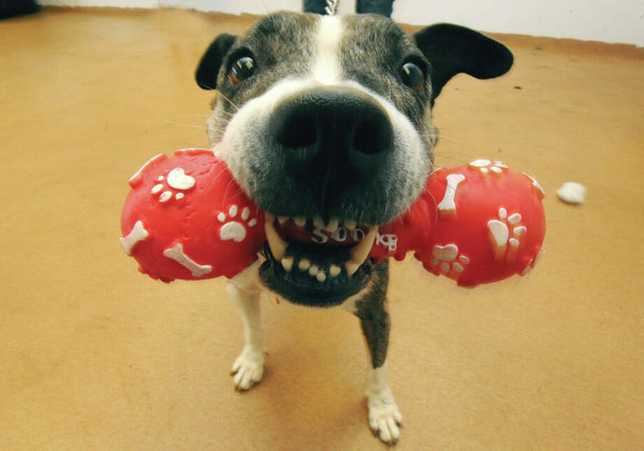 Hour photos / Matthew VinciLanie, a 9-year-old boxer mix, plays at PAWS in Norwalk Sunday. The pet adoption organization is promoting the adoption of senior dogs in the month of January.