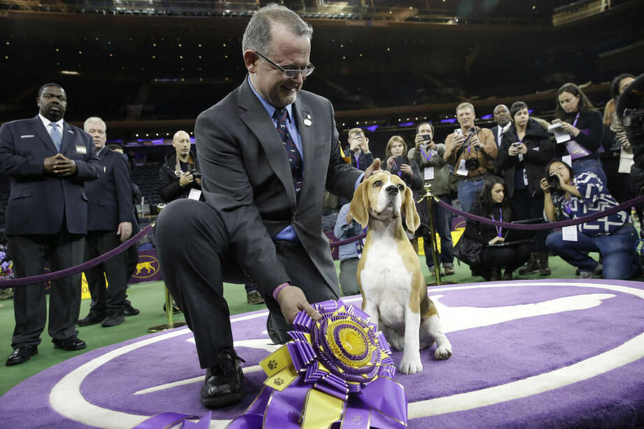 William Alexander poses with Miss P, a 15-inch beagle, after she won best in show at the Westminster Kennel Club dog show Tuesday, Feb. 17, 2015, at Madison Square Garden in New York. (AP Photo/Mary Altaffer)