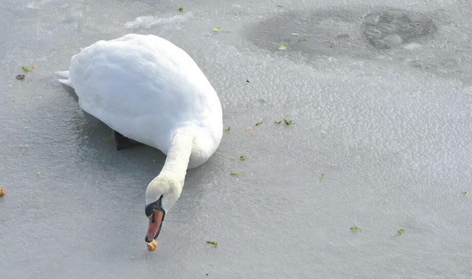 Hour Photo/Alex von Kleydorff A swan reaches for a peice of bread thrown to her by Laura Manning, Bell Ilsnad resident concerened that the bird hasn't moved since the day before