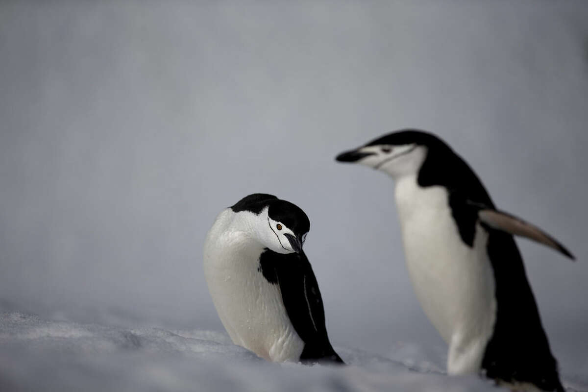 """In this Jan. 24, 2015 photo, chinstrap penguins waddle on Robert Island, in the South Shetland Islands archipelago, Antarctica. """"I was last here 10 years ago,"""" British Antarctic Survey's Peter Convey says during a rare sunny day on the island with temperatures just above freezing. """"And if you compare what I saw back then to now, the basic difference due to warming is that the permanent patches of snow and ice are smaller. They're still there behind me, but they're smaller than they were."""" (AP Photo/Natacha Pisarenko)"""