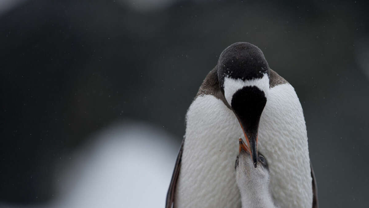 In this Jan. 22, 2015 photo, a Gentoo penguin regurgitates food to feed its chick. near Chile's station Bernardo O'Higgins, Antarctica. From the ground of this extreme northern part of Antarctica, a spectacular white and blinding ice seems to extend forever. What can't be seen is the battle raging underfoot to re-shape Earth. (AP Photo/Natacha Pisarenko)