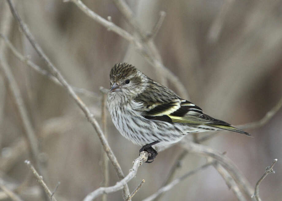 Photo by Chris BosakA Pine Siskin perches on a branch at Cove Island Park in Stamford in March, 2015.