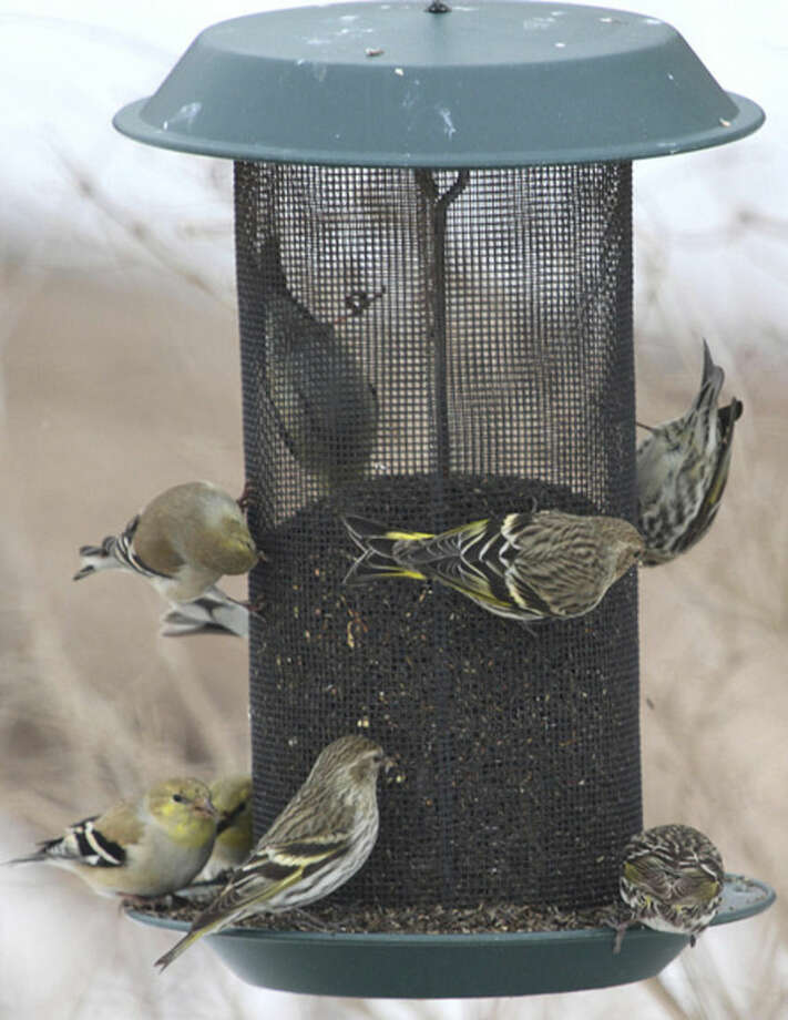 Photo by Chris BosakPine Siskins and American Goldfinches share a Nyjer feeder at Cove Island Park in Stamford, March 2015.