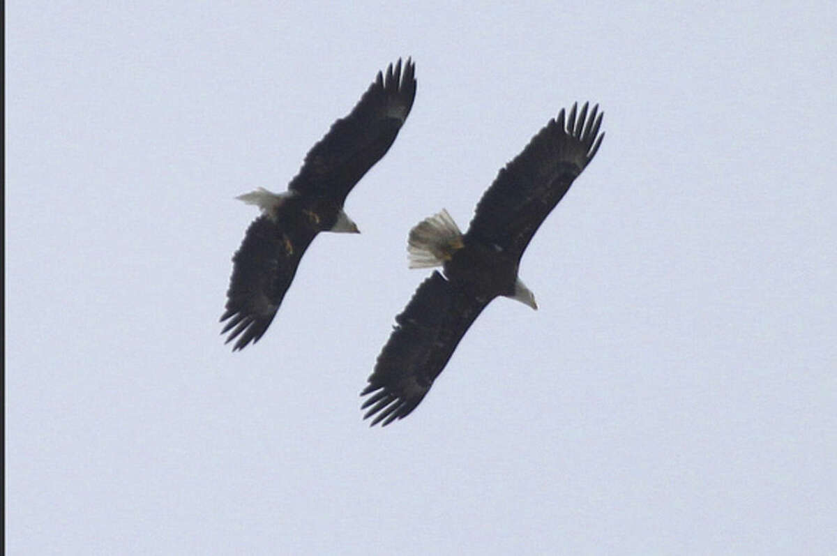 Photo by Larry Flynn A pair of Bald Eagles flies over Veterans Park in Norwalk in March 2015.