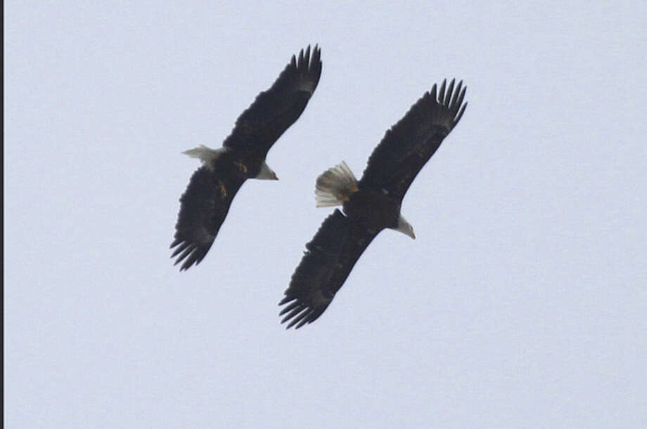 Photo by Larry FlynnA pair of Bald Eagles flies over Veterans Park in Norwalk in March 2015.