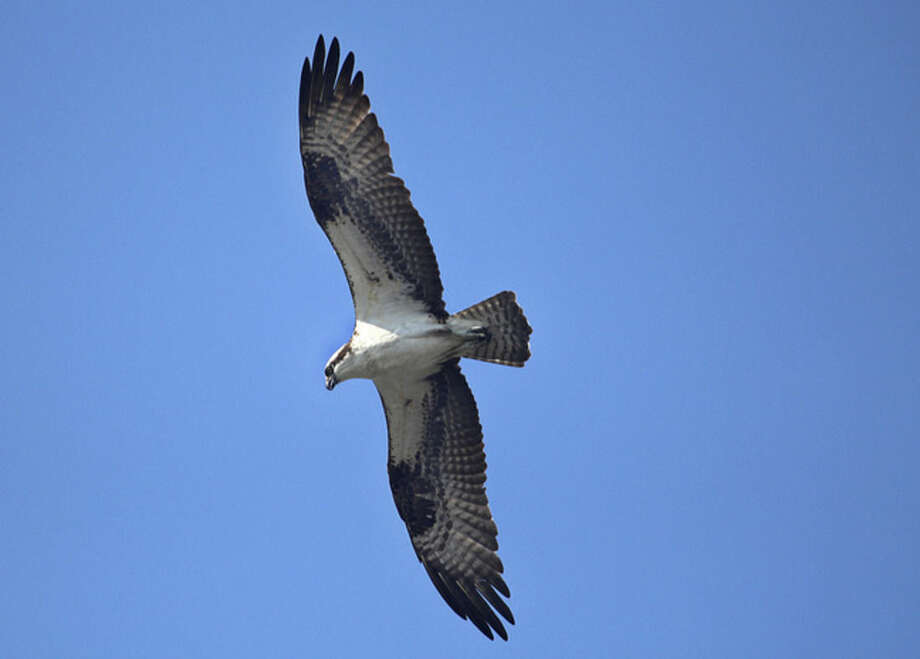 Photo by Chris BosakAn Osprey soars over the Norwalk River last fall.