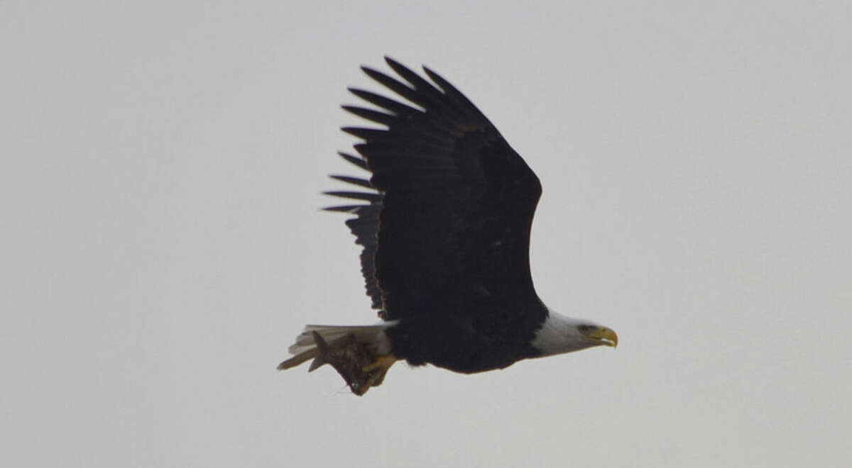 Photo by U.S. National Arboretum One of the nesting eagles returns from the nearby Anacostia River with lunch: catfish are a favored food source for the new eagle family.