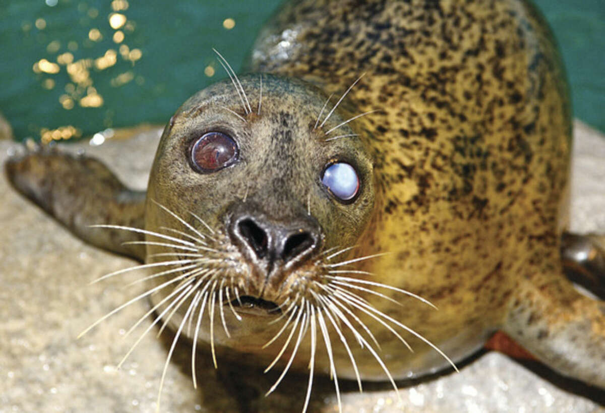 Hour photo / Erik Trautmann In this file photo, the Maritime Aquarium 's harbor seal, Orange, is featured in a new Samsung commercial.