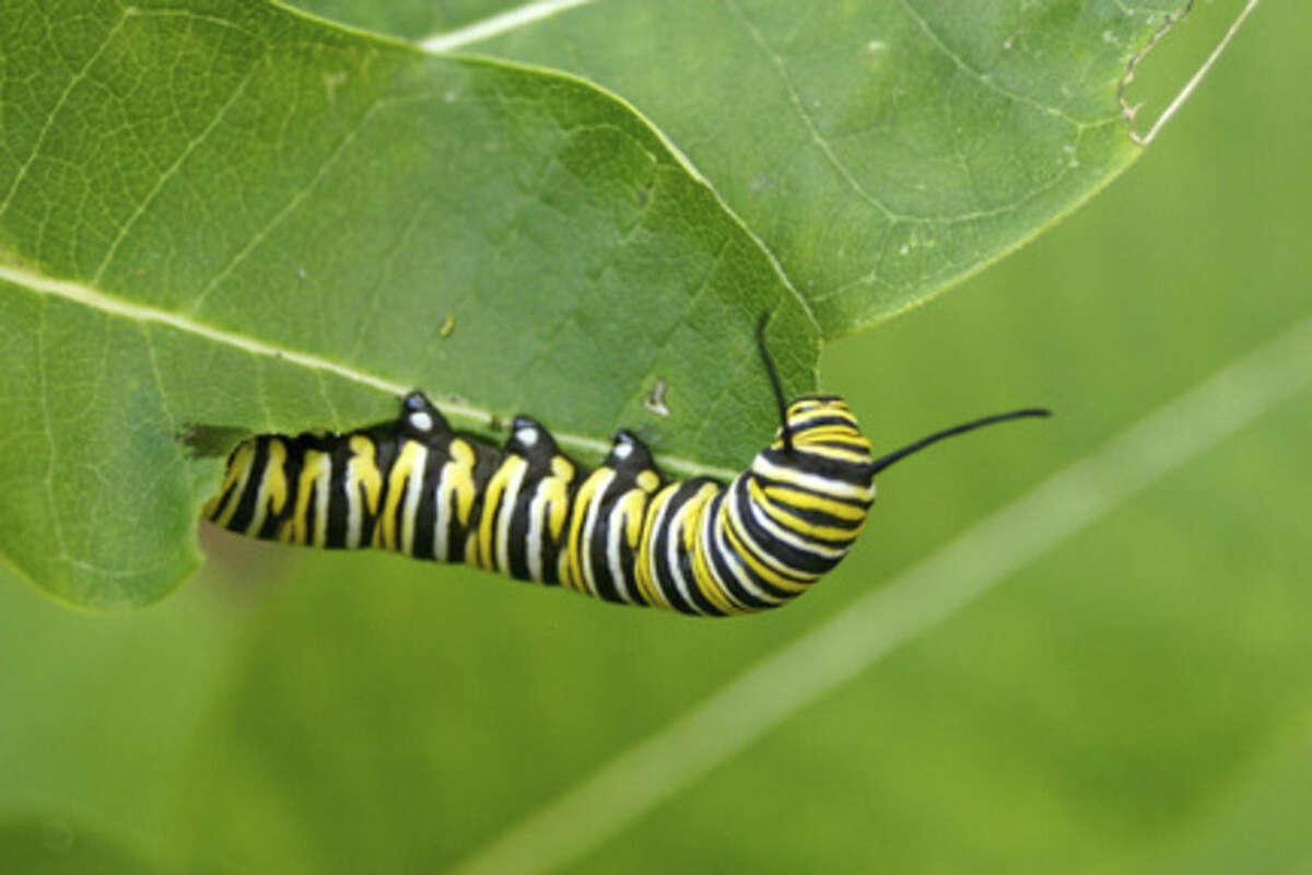 Photo by Chris Bosak Monarch caterpilar on milkweed.