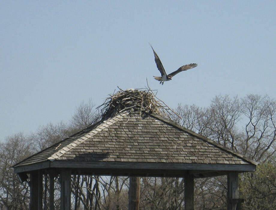 Photo by David ParkOsprey on the gazebo at Sheffield Island off the coast of Norwalk.