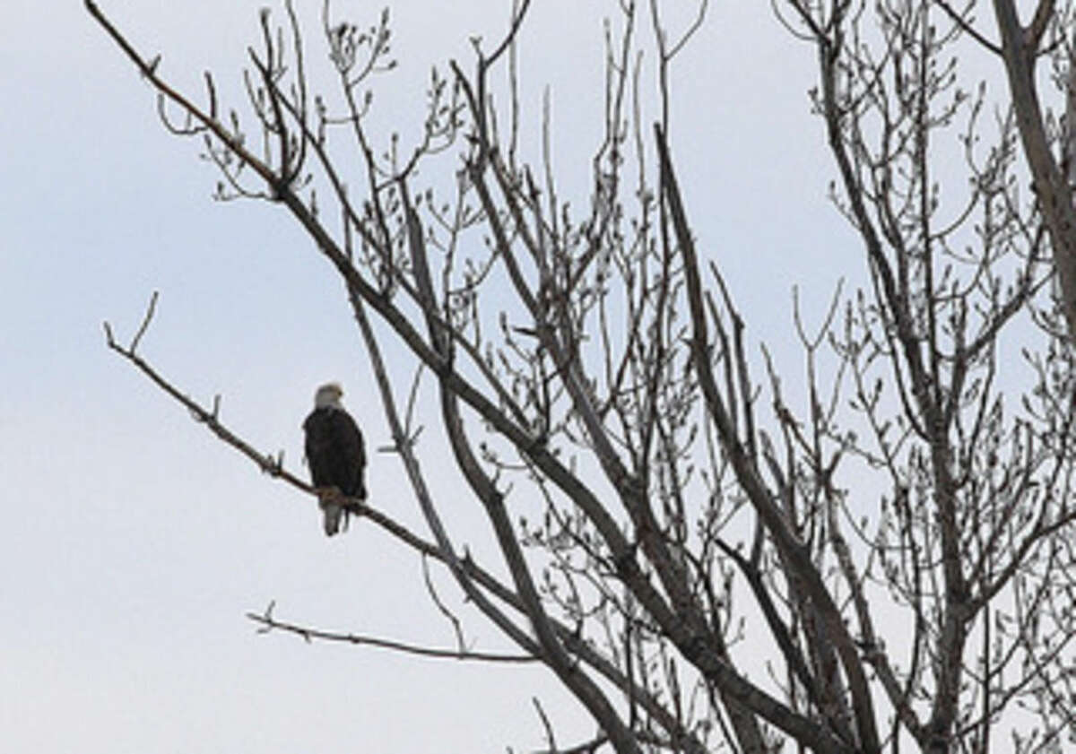Photo by Chris Bosak A Bald Eagle perches on a branch on Chimon Island in this photo taken in late March.