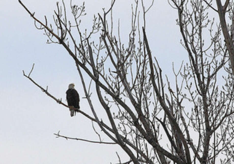 Photo by Chris BosakA Bald Eagle perches on a branch on Chimon Island in this photo taken in late March.