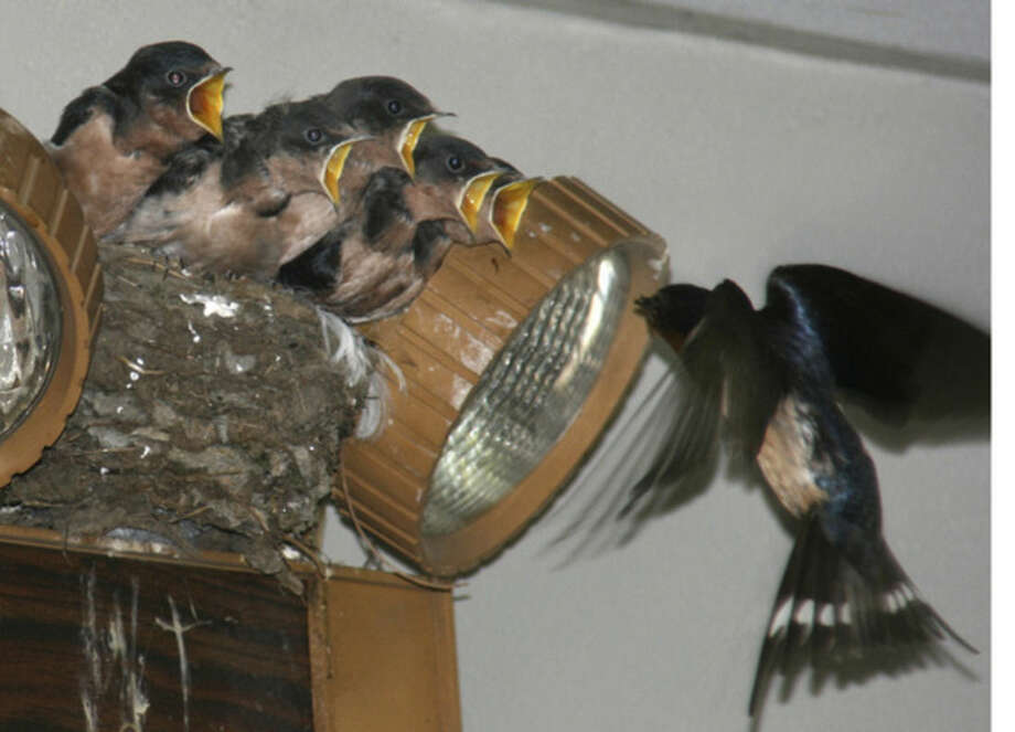 Photo by Chris BosakYoung Barn Swallows beg for food as a parent returns to the nest with a morsel in this June 2012 file photo.