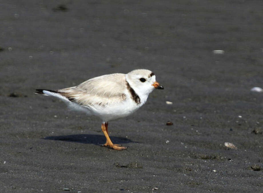 Photo by Chris BosakA Piping Plover on the beach at Milford Point last week.