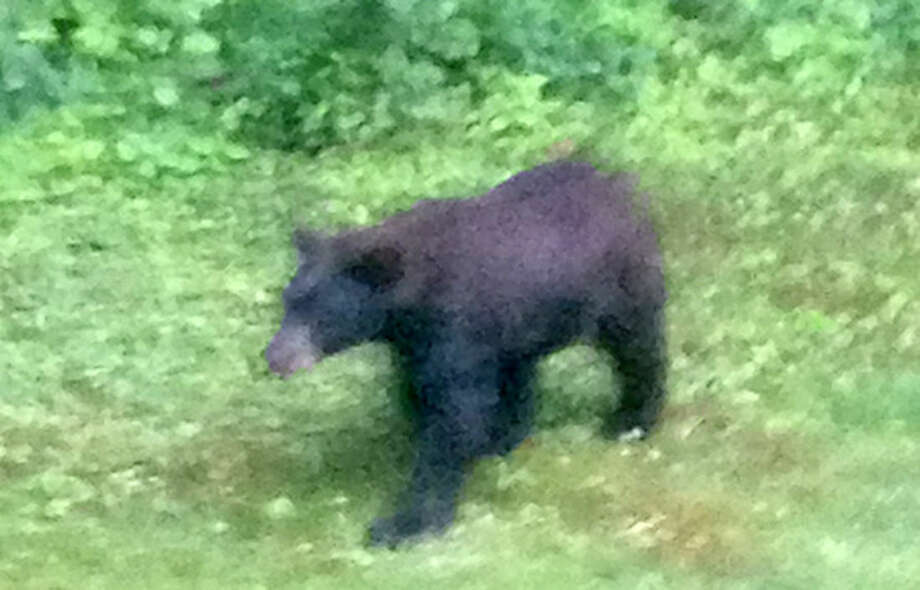 This bear was spotted a few weeks ago in Norwalk.