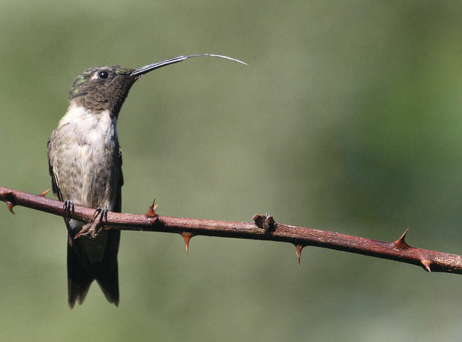 Photo by Chris BosakA Ruby-throated Hummingbird sticks out its tongue while perched on a thorny branch in Norwalk last summer.