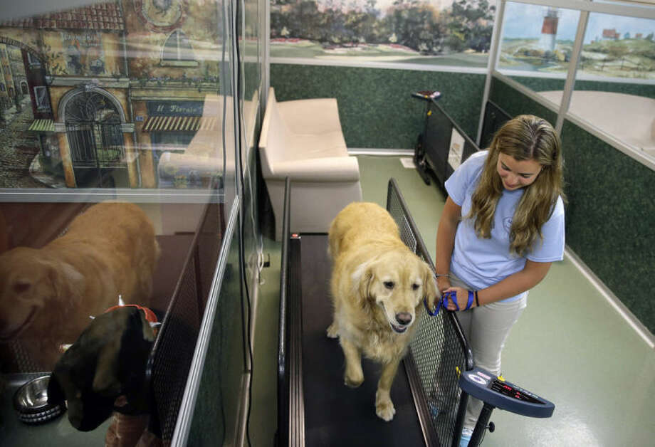 Staff worker Kelli Quinones walks golden retriever Ceili on a treadmill for dogs at the Morris Animal Inn Thursday, June 19, 2014, in Morristown, N.J. Female goldens are supposed to weigh 55 to 70 pounds but overweight Ceili weighs 126 pounds. The facility says she is very active but when they do stair climbing drills, she has to take a pause. (AP Photo/Mel Evans)