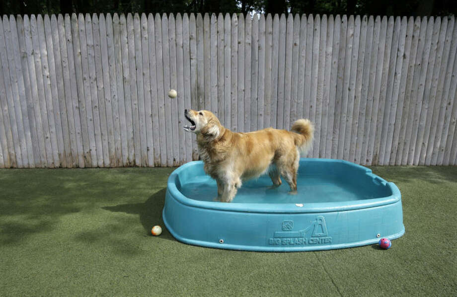 Golden retriever Ceili catches a ball as she stands in a kiddie pool in the play area for dogs at the Morris Animal Inn Thursday, June 19, 2014, in Morristown, N.J. Female goldens are supposed to weigh 55 to 70 pounds but overweight Ceili weighs 126 pounds. (AP Photo/Mel Evans)